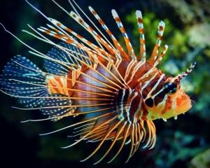Éste es un pez león. Foto: notitarde.com
